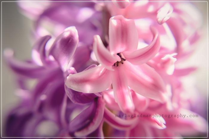 hyacinthweb